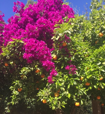 Beautiful bougainvillea and sour orange trees